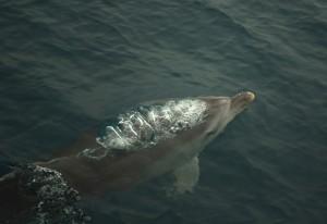 Delfín mular emergiendo para respirar