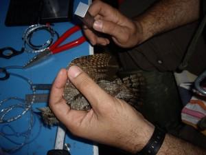 El anillador toma las medidas de un ave. /ANSE