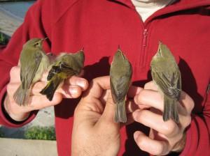 Hasta cuatro especies distintas de mosquitero se capturaron al mismo tiempo. De izquierda a derecha: Mosquitero ibérico, Mosquitero papialbo, Mosquitero común y Mosquitero musical. Foto: José Antonio Barba