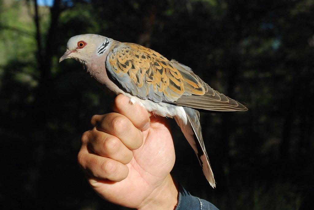 Tórtola común (Streptopelia turtur)