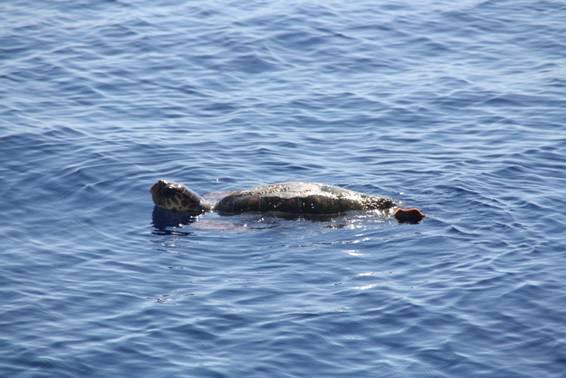 Tortuga boba descansando en superficie cerca del Else