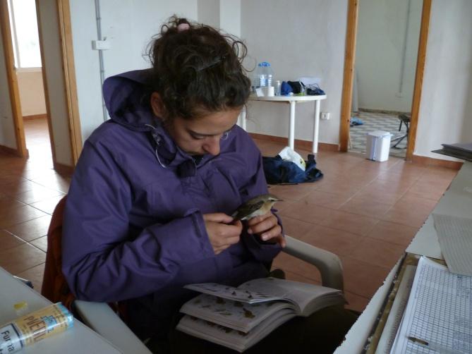 Una voluntaria estudia una Collalba gris.