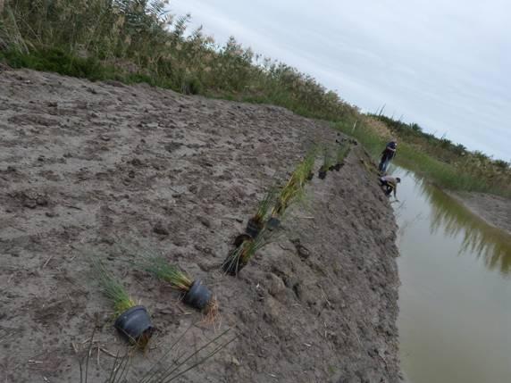 Plantación de Juncus acutus en Carrizales