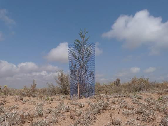 Juniperus turbinata repoblación