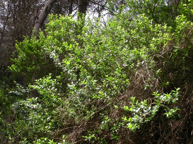 Pinares con sotobosque de arbustos mediterráneos e iberoafricanos