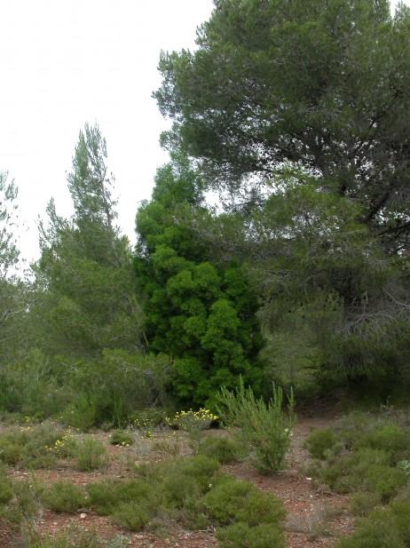 Formaciones forestales con Tetraclinis articulata en el ámbito del Plan Parcial de La Princesa