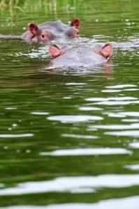 Uganda_Hipopotamos