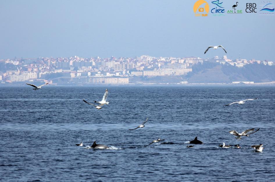 delfines_comunes_Ceuta_resize