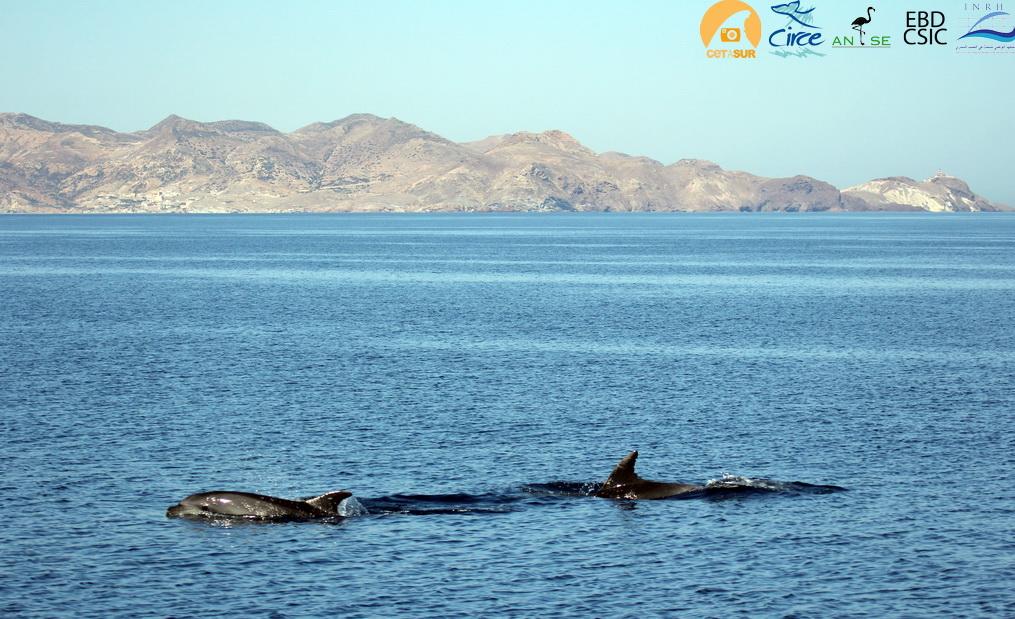 delfines_mulares_cabo3forcas_melilla_resize