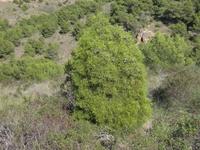Bosque de Tetraclinis en la Sierra de La Fausilla