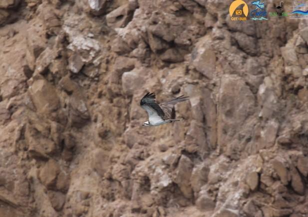Ejemplar de águila pescadora observada en la Isla del Congreso en Chafarinas