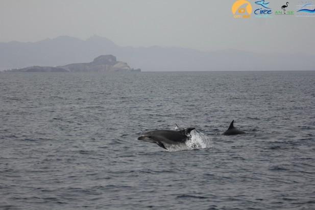 Grupo de delfines mulares con las Islas Chafarinas de fondo