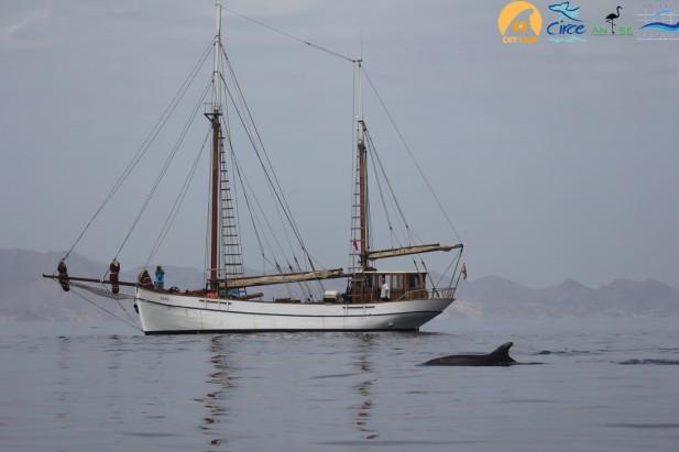 El Else navegando con delfines mulares y el Cabo Tres Forcas al fondo