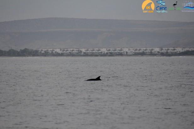 Ejemplar de delfín mular con la urbanización de Saidía al fondo