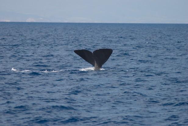 Foto de la aleta caudal del primer cachalote avistado, válida para fotoidentificación (Foto: J. L. Murcia/ANSE)