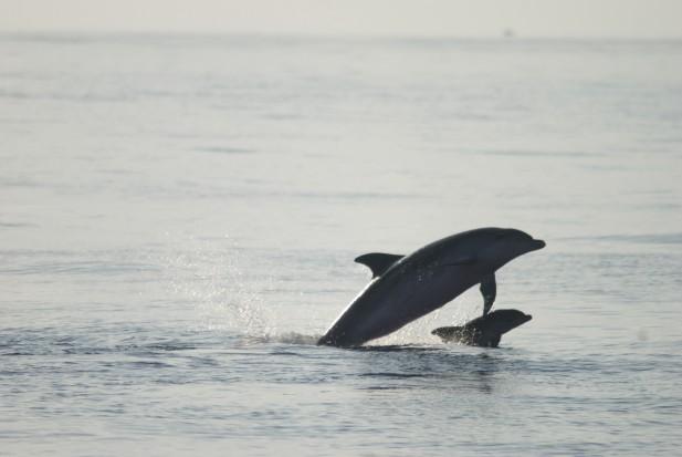 Cría de delfín mular de apenas dos semanas saltando junto a su madre