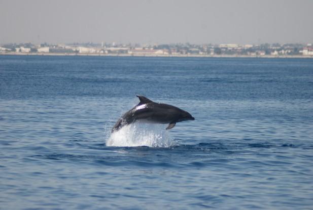 Delfín mular saltando frente a las playas de la zona norte de La Manga