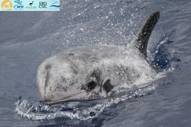 Ejemplar de calderón gris avistado al norte de la Isla de Alborán.