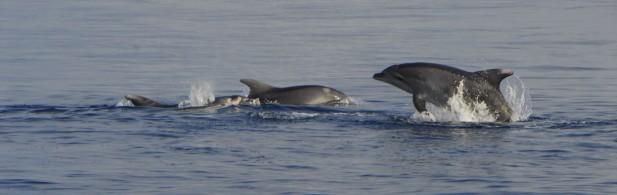 ANSE estudia la relación entre delfines mulares y acuicultura