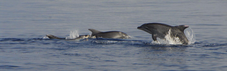 Delfines mulares junto a granjas San Pedro