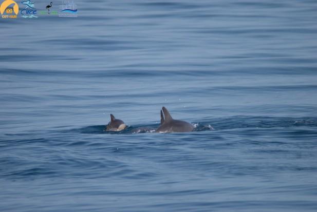 Cría de delfín común presuntamente adoptada junto a un grupo de delfines mulares
