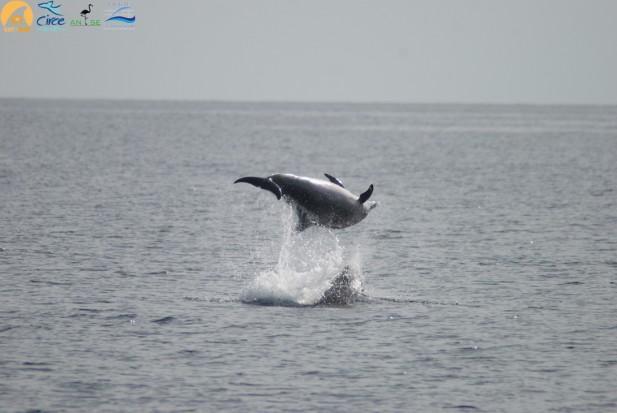Delfín mular cabrioleando en la Bahía de Alhucemas
