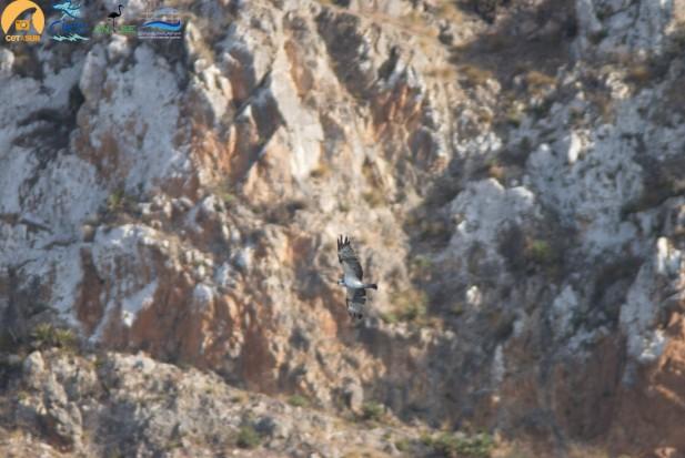 Águila pescadoracon los acantilados del Parque Nacional de Alhucemas de fondo