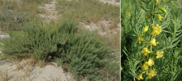 La esparraguera del Mar Menor (Asparragus macrorhizus) es una especie recientemente separada de la esparraguera marítima y que su distribución está restringida al entorno del Mar Menor.