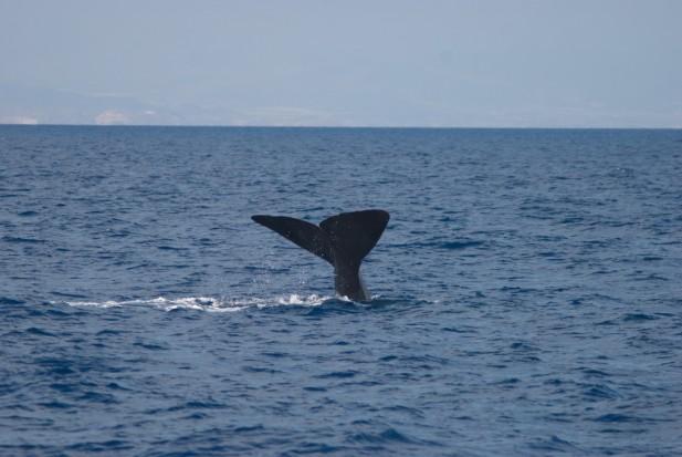 Cachalote sumergiéndose frente a la costa de Carboneras. Foto: J. L. Murcia/ANSE