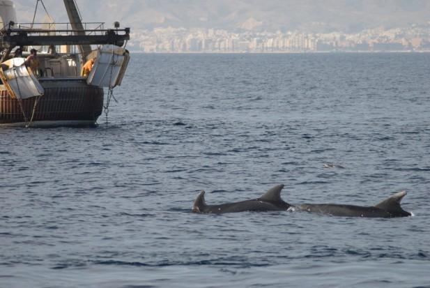 Delfines mulares en la estela de un arrastrero frente a la ciudad de Almería