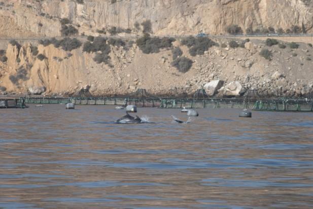 Delfines mulares entrando al polígono de acuicultura de Aguadulce