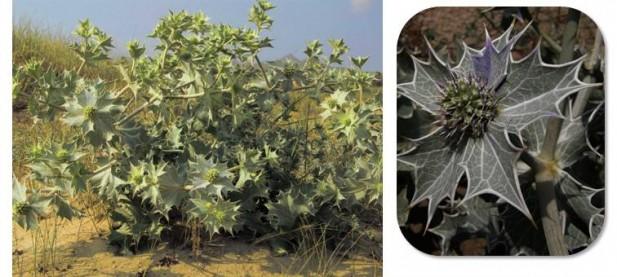 Cardo marino (Eryngium maritimum)