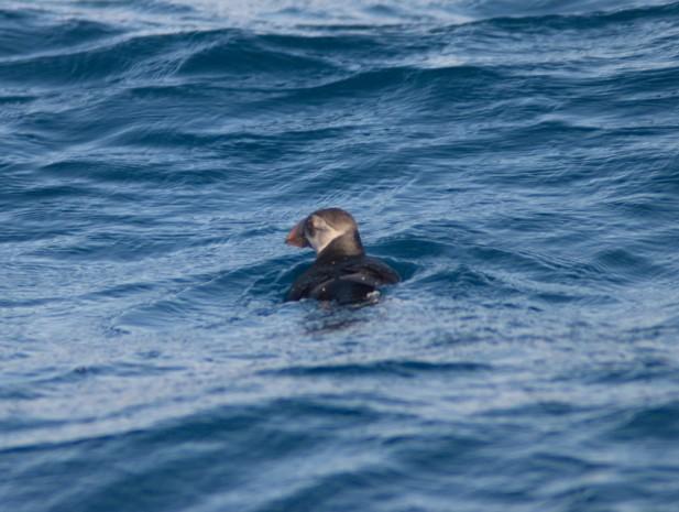 Frailecillo nadando fotografiado desde el Else. Foto: J. L. Murcia/ANSE.