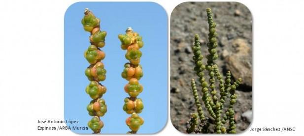 El almarjo o salao (Halocnemum strobilaceum) está declarada como Vulnerable en la Región de Murcia por el Decreto 50/2003