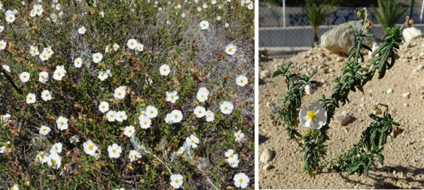 La Tamarilla (Helianthemum marminorense) está catalogada como Vulnerable en la Región de Murcia por el Decreto 50/2003. Es un endemismo de Murcia y el sur de Alicante.