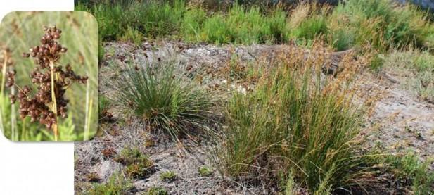 Juncos (Juncus acutus, J. maritimus).
