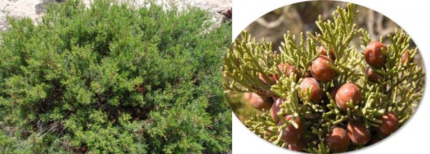 Juniperusturbinata