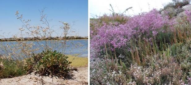 La acelga marina (Limonium cossonianum, izda) está considerada de interés especial por el Decreto 50/2003. Otra especie del mismo género es la Sopaenvino (Limonium caesium, dcha)