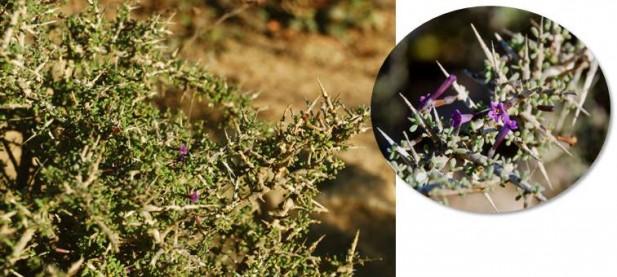 El cambrón (Lycium intricatum) está catalogado como Vulnerable en la Región de Murcia por el Decreto 50/2003