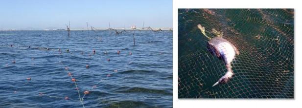 La proliferación de redes, parte de ellas ilegales, son un riesgo para la fauna, entre ellas las aves buceadoras, como los cormoranes y los zampullines, que mueren ahogados por centenares cada año. (Mas info, aquí.)