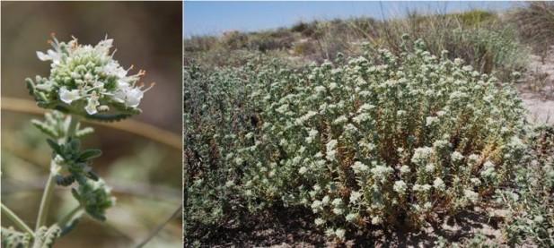 Zamarrilla de las dunas (Teucrium dunense)