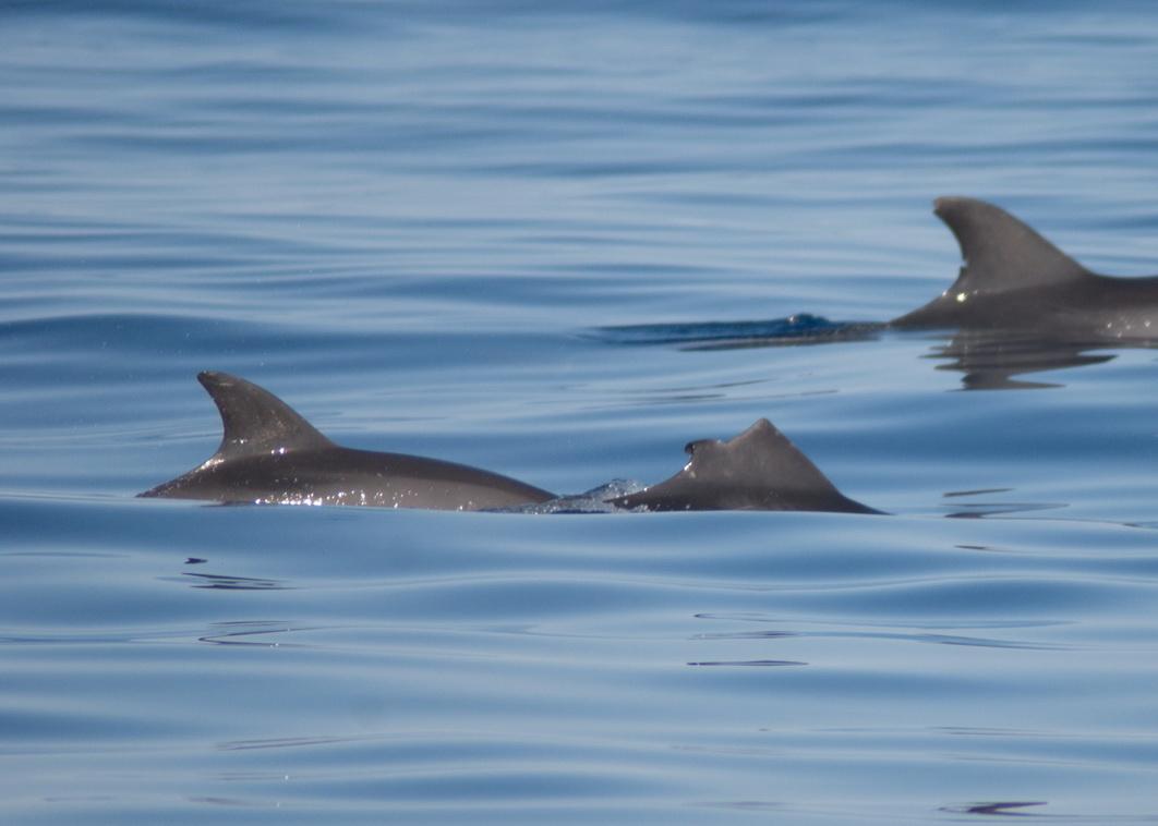 TT_D0214 el pasado 27 de junio nadando junto a una cría (J. L. Murcia/ANSE)