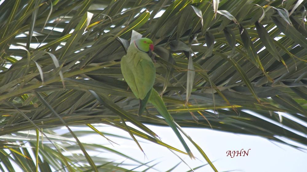 Cotorra de Kramer (Psittaculal krameri) en una palmera. Cartagena.