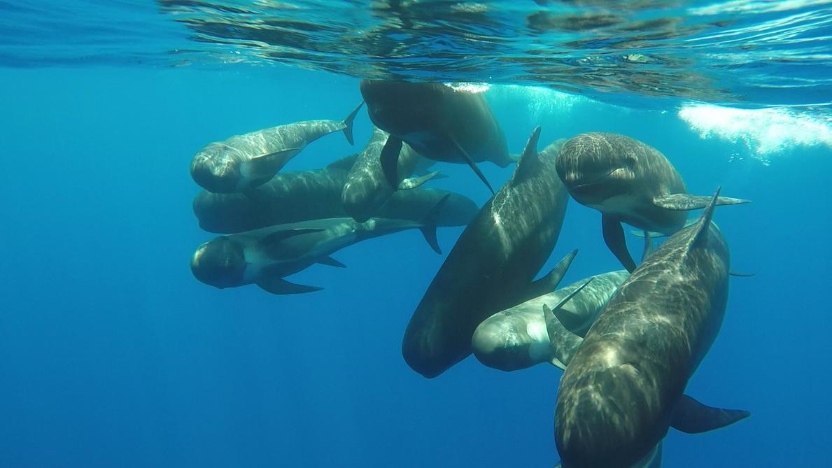 Fotograma de vídeo submarino de un grupo de calderones (P. García/ANSE)