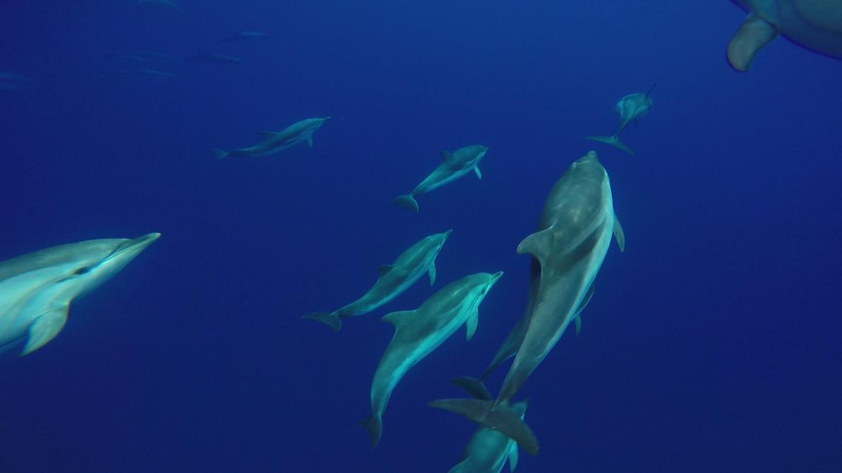 Fotograma de vídeo submarino de un grupo de delfines listados (J. L. Murcia/ANSE)
