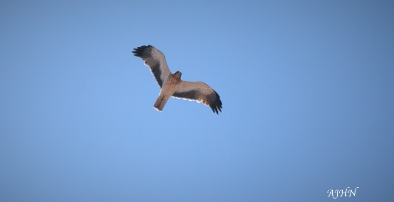 Águililla calzada (Aquila pennata) migrando