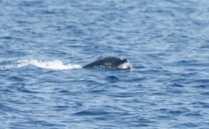 Delfín mular fotografiado cerca de Águilas con la boca obstruida con un plástico de gran tamaño que no podía expulsar (J. L. Murcia/ANSE)