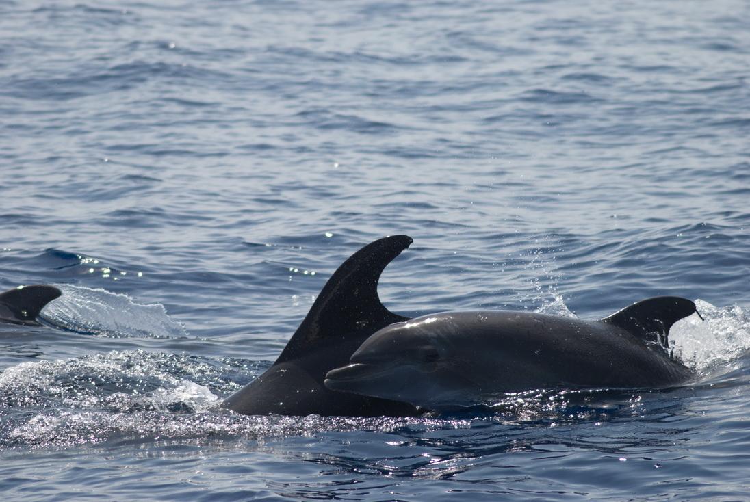 Cría de delfín mular saltando fuera del agua junto a su madre, en un avistamiento al sur de Calblanque (J. L. Murcia/ANSE)