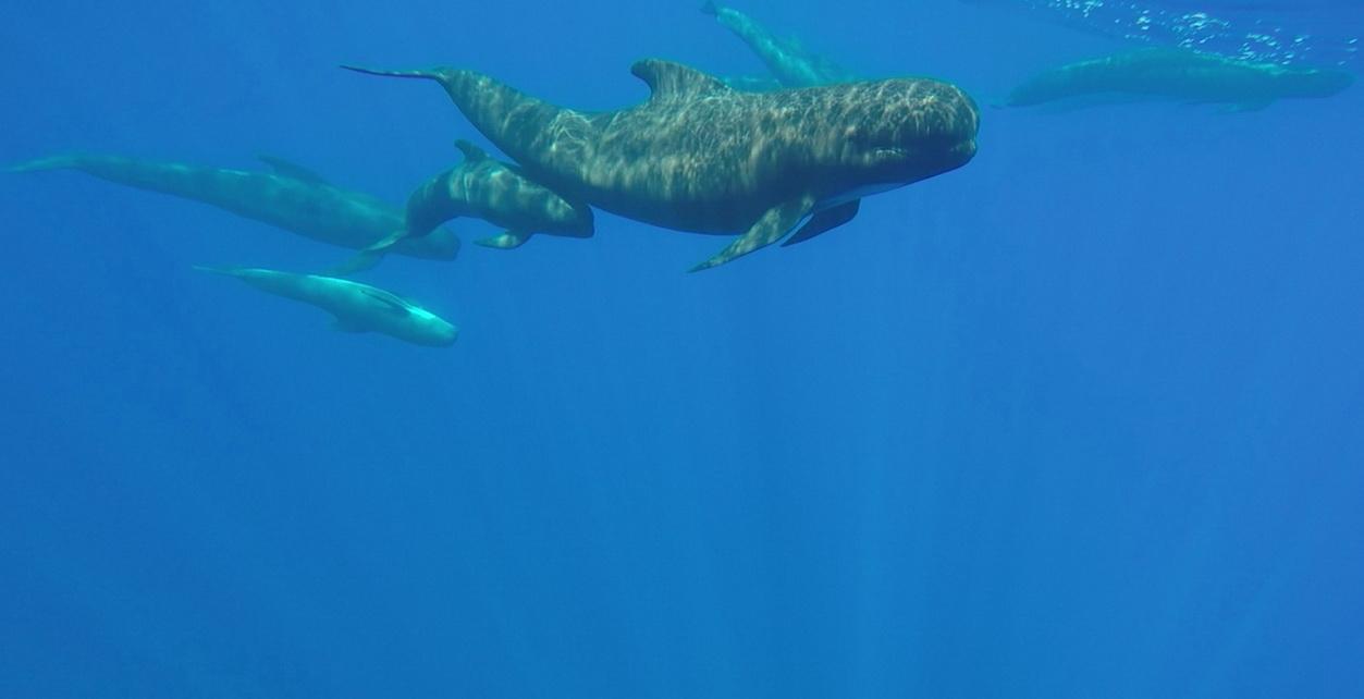 Hembra de calderón común junto a cría recién nacida grabadas con cámara subacuática cerca del Else (J. L. Murcia/ANSE)