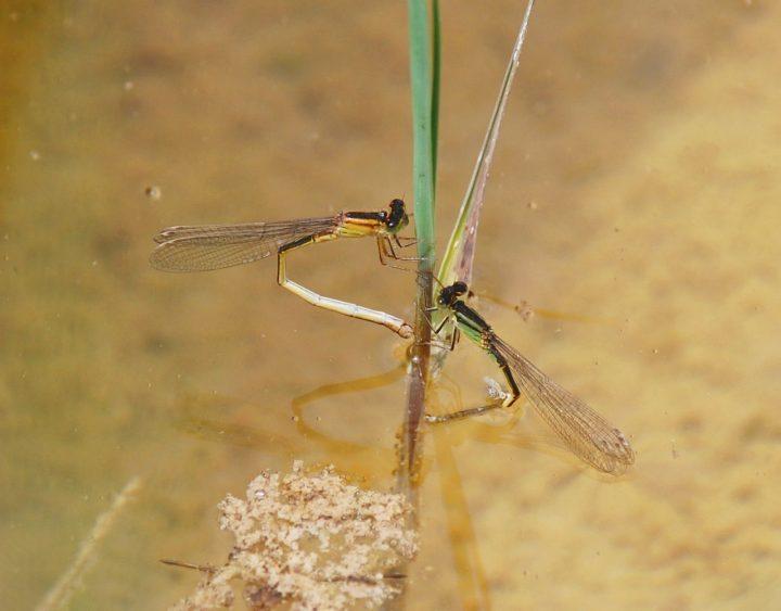 Hembras del género Ischnura poniendo ovopositando en un tallo sumergido.